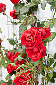 Rosa 'Crazy in Love Red'