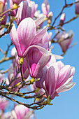 Magnolia blossom branches in front of a blue sky