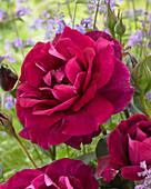Rosa 'Ilios'