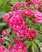 Rosa 'Brewood Belle'