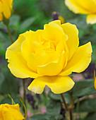 Rosa 'Golden Showers'