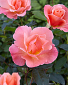 Rosa 'Fragrant Delight'