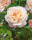 Rosa 'Gruss an Aachen'