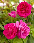 Rosa centifolia muscosa 'Rubra'