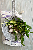 Quail eggs and dandelion leaves in a vintage sieve