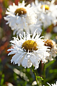 Leucanthemum 'Spikey White'