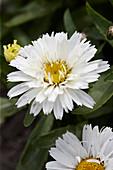 Leucanthemum '349'