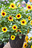 Helianthus annuus 'SunBelievable ™ Brown Eyed Girl'