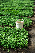 A large field of basil