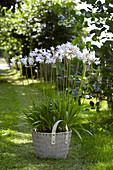 Weiße Schmucklilie im Korb