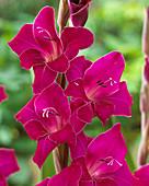 Gladiole magenta