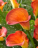 Zantedeschia 'Orange Beauty'