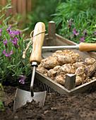 Zantedeschia-Zwiebeln ins Beet pflanzen