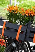 Lilium asiaticum 'Orange Pixie'