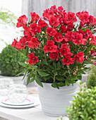 Alstroemeria 'Valentino' ®