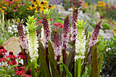 Eucomis 'Indian Summer' ®, 'Johannesburg'
