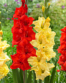 Gladiolus 'Magma', 'Gilded Age'