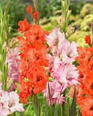 Gladiolus 'Buena Sera', 'King Redbad'