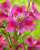 Alstroemeria 'Montsoreau' ®
