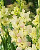 Gladiolus 'Alicia'