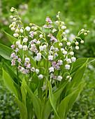 Convallaria majalis, rosa und weiße Mischung