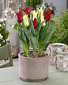 Tulipa 'Isaak Chic', 'Florijn Chic'