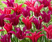Tulipa 'Purple Doll', 'Doll's Minuet'
