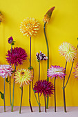 Dahlia und Kniphofia Blüten Stilleben