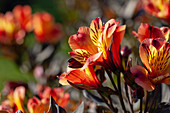 Alstroemeria 'Indian Summer' ®