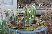 Schneeglöckchen in Gläsern ohne Erde mit Moos, Ranken und Rinde dekoriert