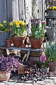 Topf-Arrangement mit Tulpen und Schneeheide