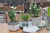 Schneeglöckchen und Puschkinie in Töpfen als Tischdekoration, Stecker mit Aufschrift: Frühling