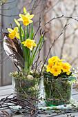 Frühling in gelb mit Narzisse 'Tete a Tete' und Primel in Gläsern mit Moos