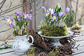 Frühlings-Tischdeko mit Krokus 'Tricolor' und Milchstern