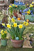 Narzissen, Traubenhyazinthen, Strahlenanemonen und Primel in Töpfen im Garten