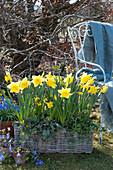 Korbkasten mit Narzissen, Purpurglöckchen und Efeu im Garten