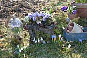 Frühling im Garten mit Krokus 'King of the Striped', Milchstern und Schneeglöckchen