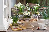Milchstern, Traubenhyazinthen, Primel und Krokus in Oma's Tassen gepflanzt als Tischdekoration