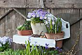 Töpfe mit Hornveilchen Rocky 'Lavender Blush', Hauswurz und Schneestolz in Wandhänger