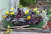 Kontrastreiche Bepflanzung mit Tulpen, Purpurglöckchen, Primeln und weißfilziges Greiskraut