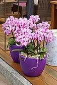 Phalaenopsis mit pinken Blüten