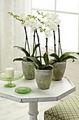 Weiße Phalaenopsis in Töpfen