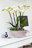 Phalaenopsis 'Bristol'