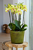 Phalaenopsis 'Lime Light'