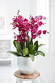 Phalaenopsis 'Rio Grande'