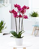 Phalaenopsis 'Rossini'