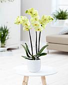 Phalaenopsis 'Yuru'