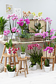 Topf Arrangement mit verschiedenen Phalaenopsis
