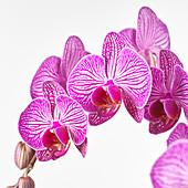 Phalaenopsis 'Paso Robles'