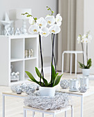Phalaenopsis 'White World'